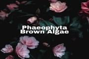 Phaeophyta- Brown Algae