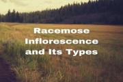 What is Racemose Inflorescence? Describe briefly the various types of Racemose Inflorescence?