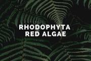 Rhodophyta- Red Algae