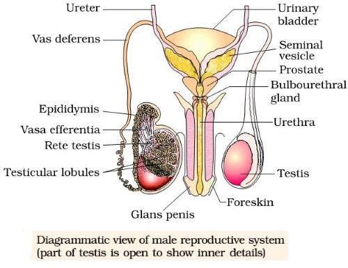 Male Reproductive System - Male Reproductive System