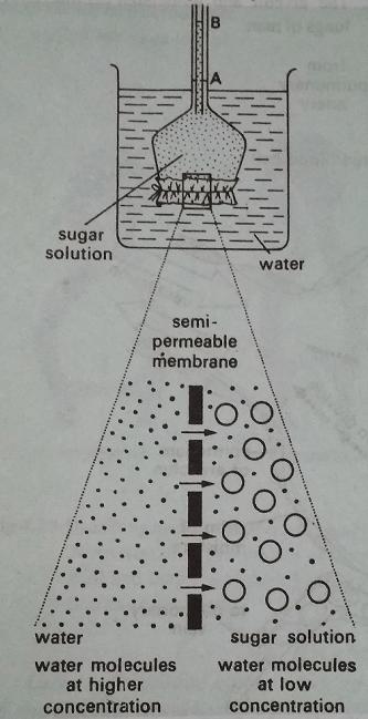 osmosis - Phenomenon Of Osmosis