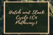 Hatch and Slack Cycle (C4 Pathway)
