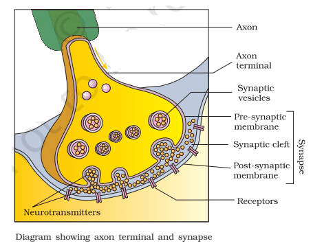 synapse - What is Synapse? How a nerve impulse is transmitted across the synapse?