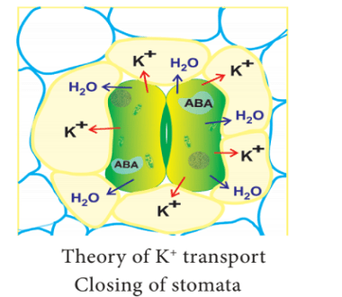 theory of potassium transport closing of stomata - Mechanism of Stomatal Movement