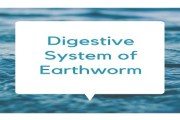 Digestive System of Earthworm