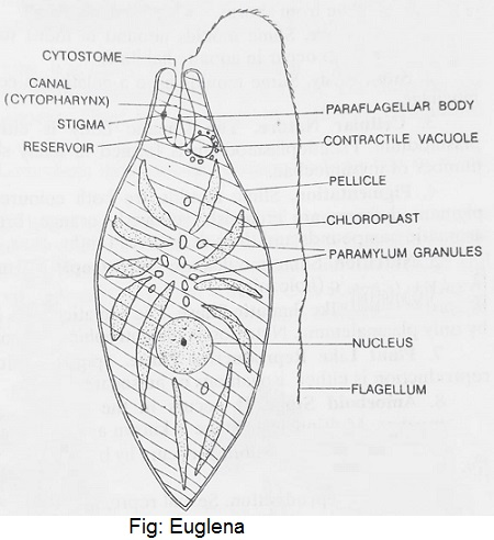 Euglena Diagram - Euglenoids Characteristics