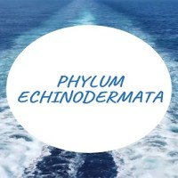 Phylum Echinodermata- The Spiny Skinned Animals