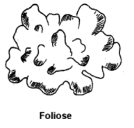 foliose - Lichens-Occurrence, Morphology, Internal Structure and Importance