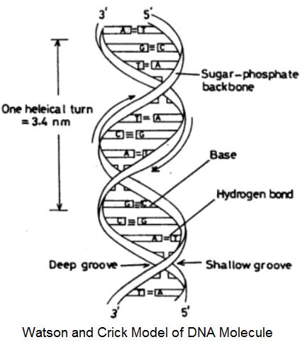 Watson Crick Model of DNA Molecule - Watson and Crick Model of DNA