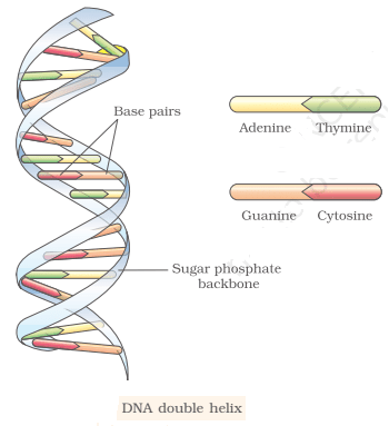 dna double helix - DNA and its Functions