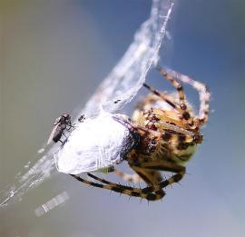 Araignées (9) (Medium)