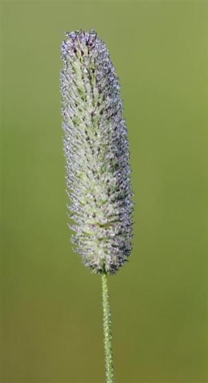 FleurDeRosée (6) (Medium)