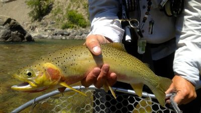 Westslope Cutthroat Trout, Great Bear Wilderness