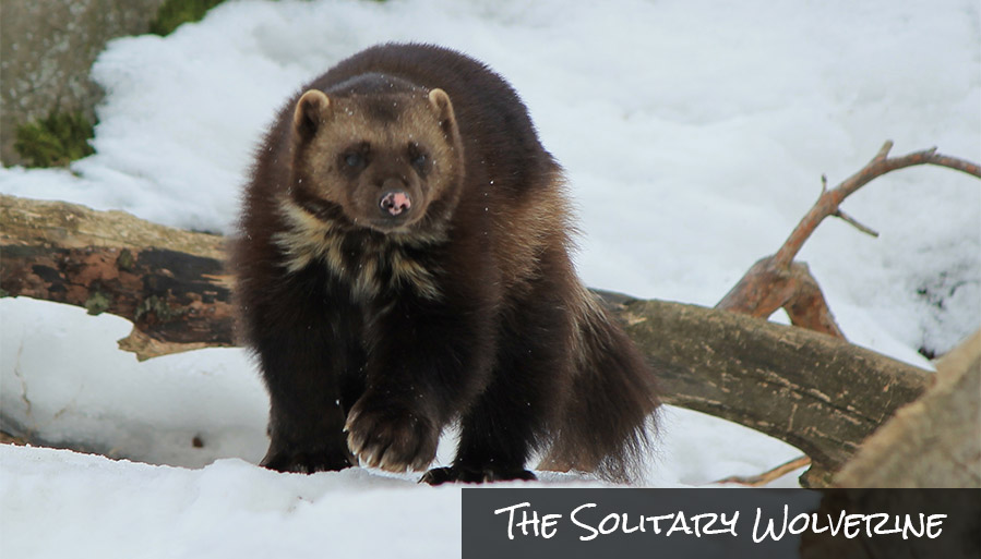 Gulo gulo! This wolverine tromping through the snow. Want to see one in glacier national park?
