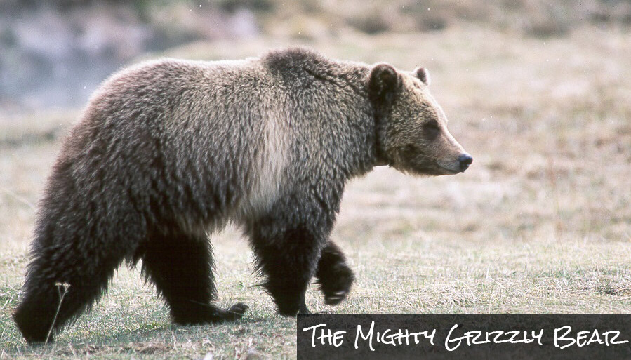 Want to see a Grizzly Bear like this big fella in glacier park?