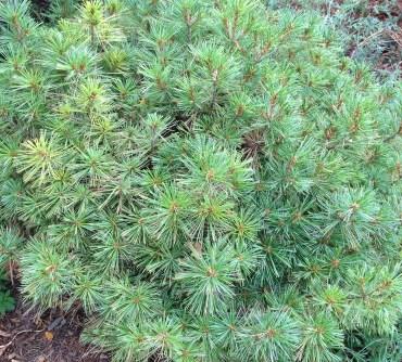 Dwarf Blue Shag White Pine