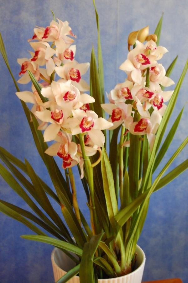 Cymbidium orkidé