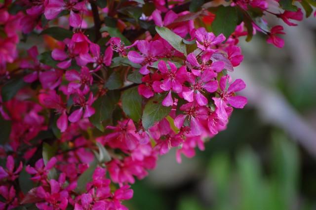Malus Profusion purpurapel