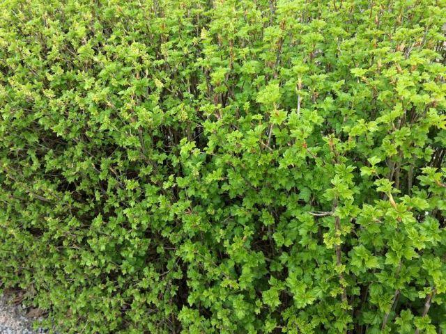 vanliga häck buskar