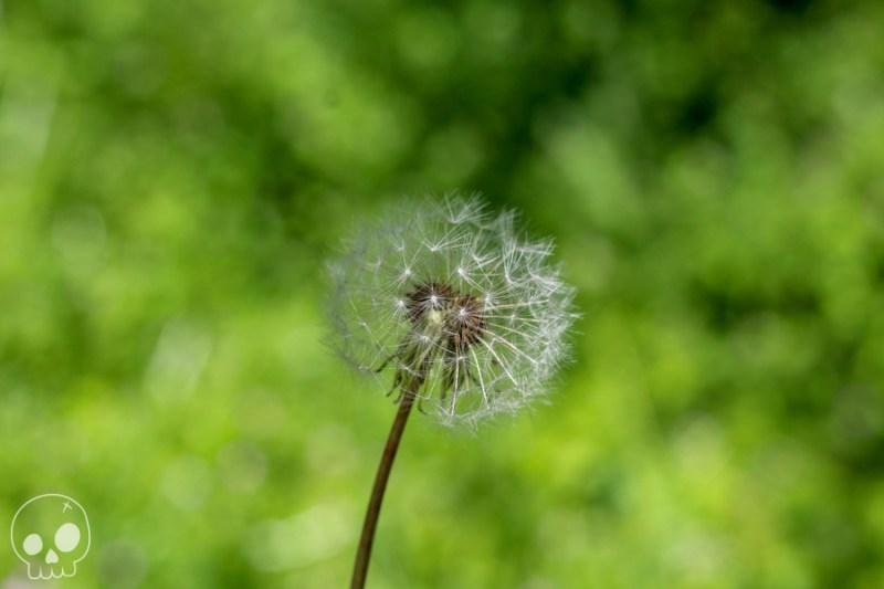 jardin dandelion