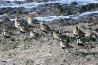 03Apr17 Golden Plovers at Pink Bay