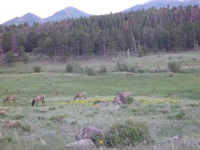 Elk in Moraine Park, RMNP.