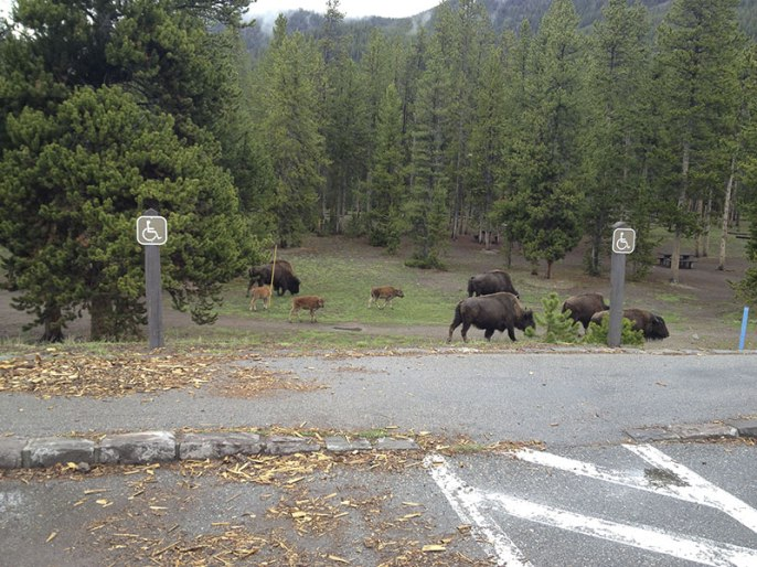 Trying to beat the bison to the car!