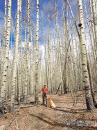 Beautiful tall aspens along the trial. Kenosha Pass, CO