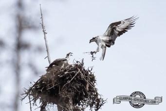 Osprey nest Steamboat Lake State Park.