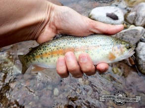 Hybrid trout—some sort of a cutbow trout, with more bow than cut.
