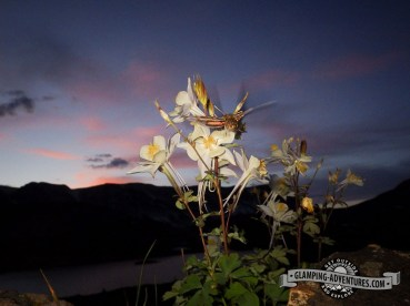 Columbines in the sunset with a surprise visit from a humming bird moth. Libby Lake, WY.
