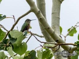 Humming Bird. Steamboat Lake, CO.