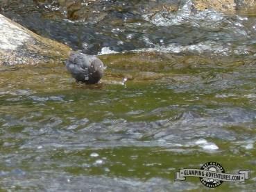 Dipper, after a dip!