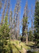 Pine Beetle trees along Burn Ridge Trail.