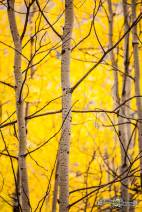 Beautiful aspens. Sylvan Lake S.P.