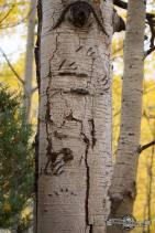 Bear scratches on aspens. Sylvan Lake S.P.