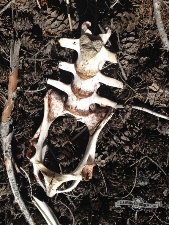 Bones along the trail. Mule Deer Trail. Golden Gate Canyon S.P.