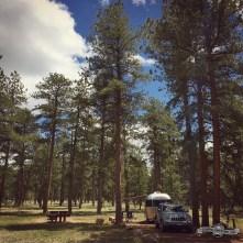 Wonderful mature Ponderosa Pines, Colorado CG.