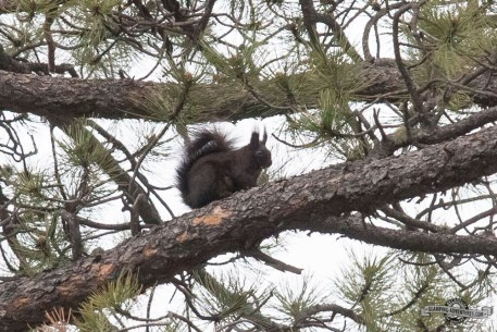 Abert's Squirrel.