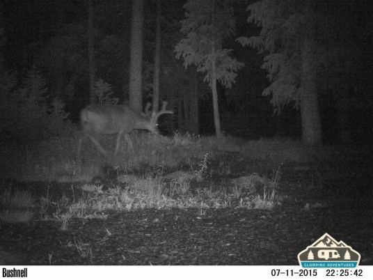 Buck in the site. Cobbett Lake CG, Grand Mesa CO.