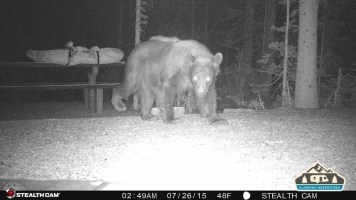 3. Bear walking through our site.