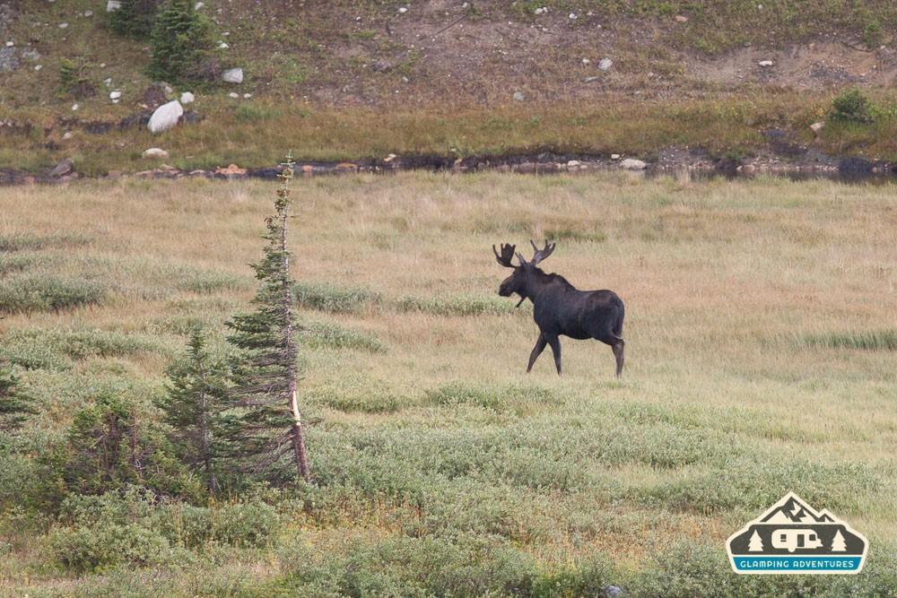 Moose near the campsite. Sugarloaf CG, WY.