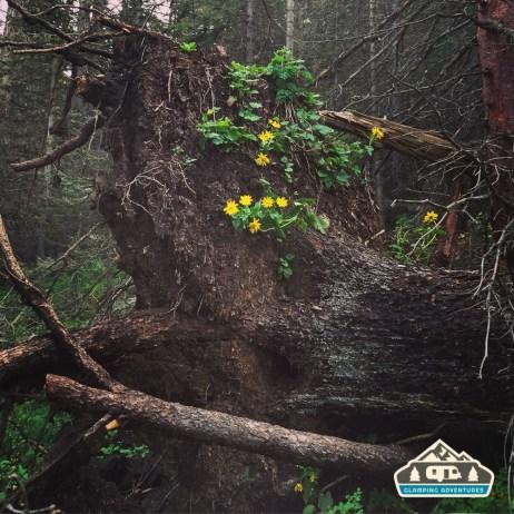 Flowers growing on a down tree, Kilpacker Trail.