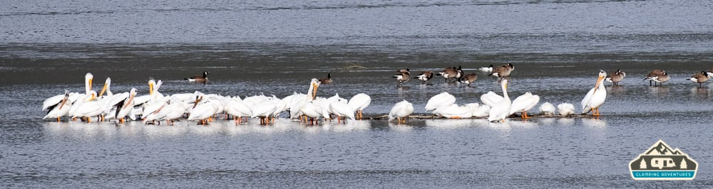 White Pelicans. Stillwater C.G., Lake Granby, CO.
