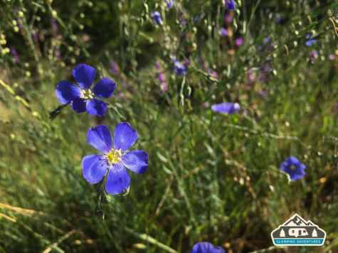 Blue Flax Flowers at the campsite. Heaton Bay C.G., Colorado.