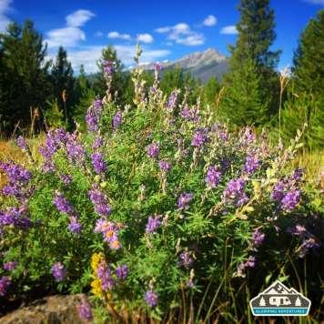 Wildflowers at the camp. Heaton Bay C.G., Colorado.