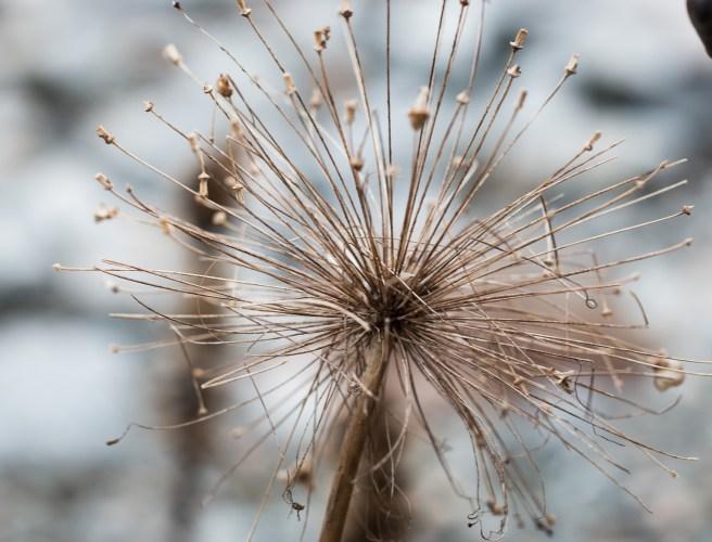 Allium 25 mars-1