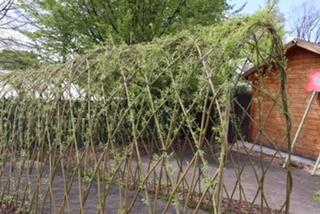 Plants growing across a trellis