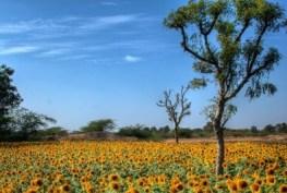 Field of sunflowers in Lepakshi, Andra Pradesh, India. © Navaneeth KN