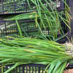 Spring Onion and Cheddar Scone Recipe